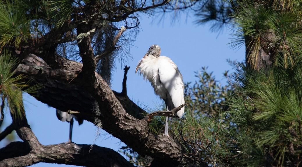 Wood Stork, Up High