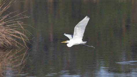 Pretty In Flight, Great Egret