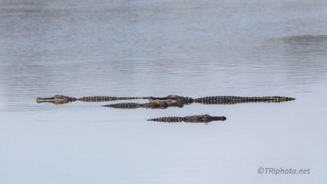 Log Jam, Alligators