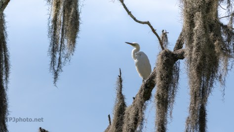 Little Blue In The Spanish Moss
