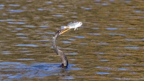 Anhinga With A Catch