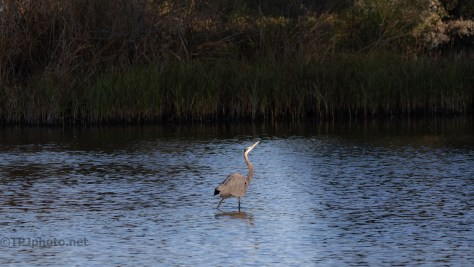 Great Blue Heron, Profiling