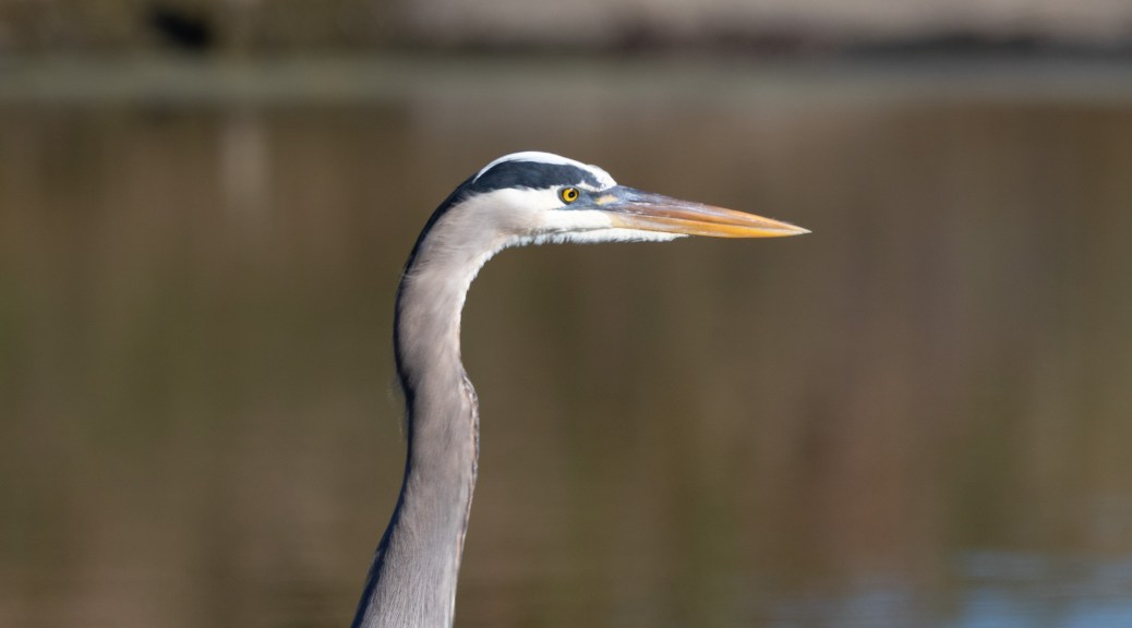 Great Blue Portrait
