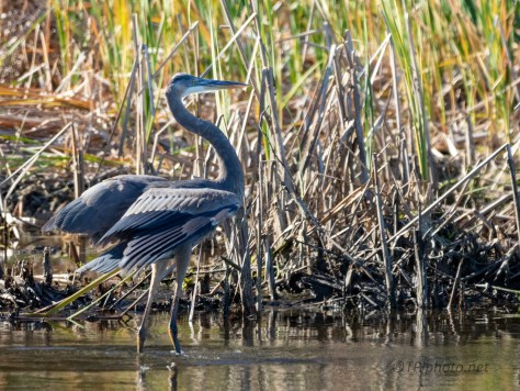 Show Off, Great Blue Heron