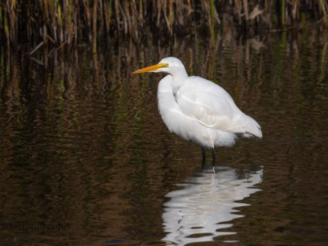 Great Egrets, Edge Of A Marsh