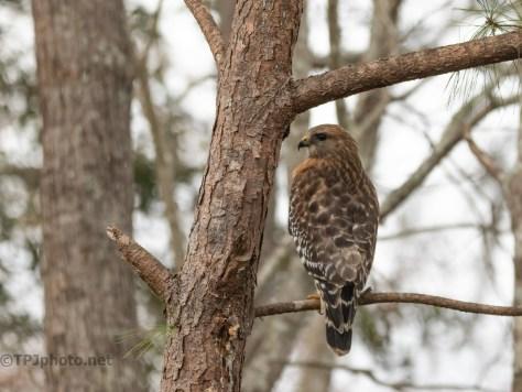 A Red-shouldered Hawk