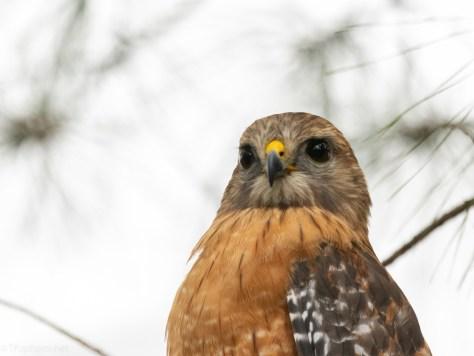 Red-shouldered Hawk Portrait