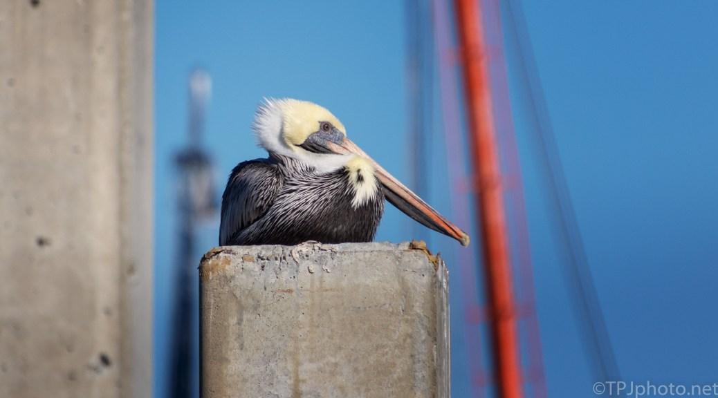 Posing For Us, Pelican