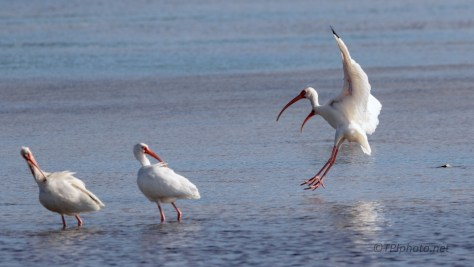 Ibis, Easy Landing
