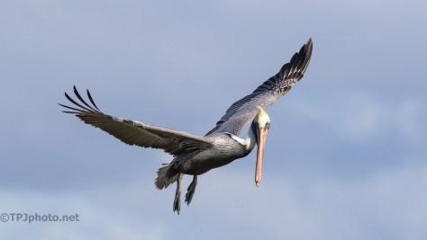 Pelican Watching Me