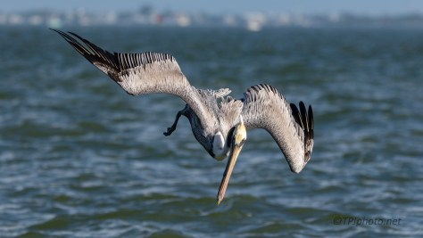 On The Hunt, Brown Pelican