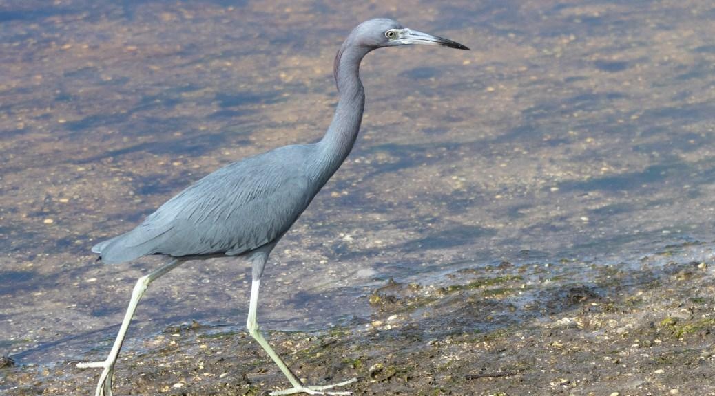 Little Blue Heron In A Salt Marsh