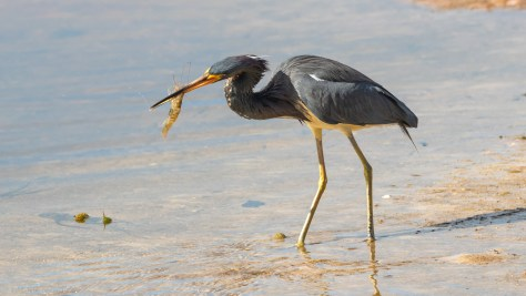 Tricolored Heron With A Treasure