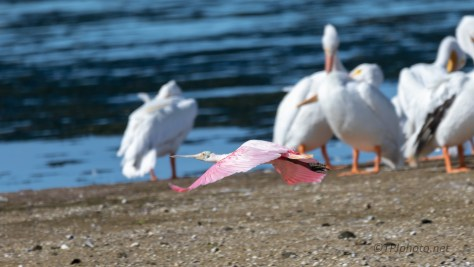 Pink And White, Pelican And Spoonbill