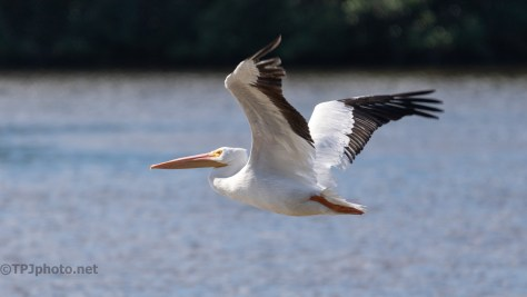 White Pelican Close Fly By