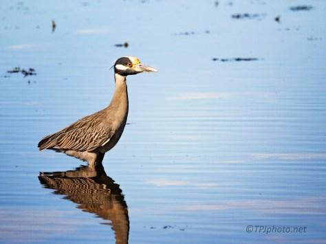 Yellow-crowned Night Heron, Tarpon Bay
