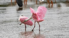 Pink Falling From The Sky, Spoonbill