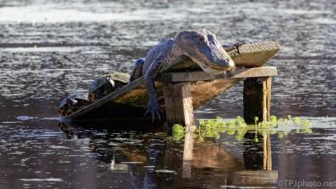 Looks Comfortable, Alligator