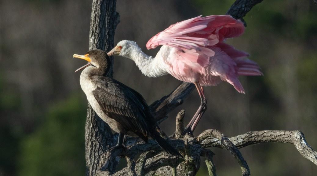 Close Friends, Spoonbill Cormorant