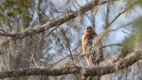 The Usual Spot, Red-shouldered Hawk