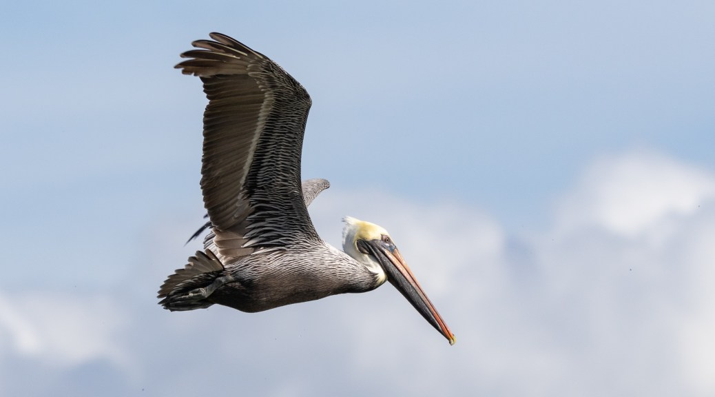 Colorful Fly By, Brown Pelican