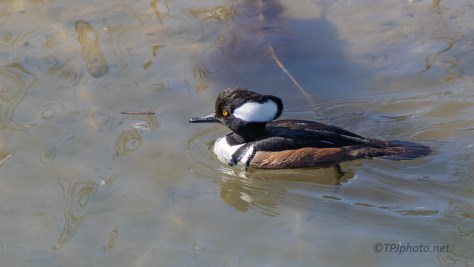 Watching Hooded Mergansers