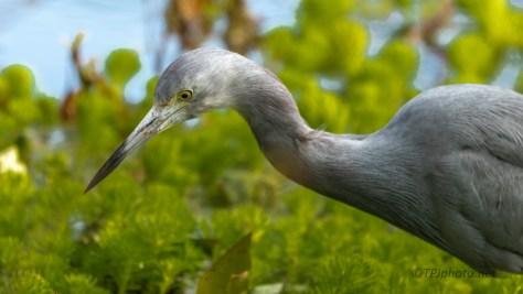 Teenage Little Blue Heron