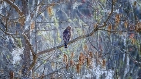 Red-shouldered Hawks