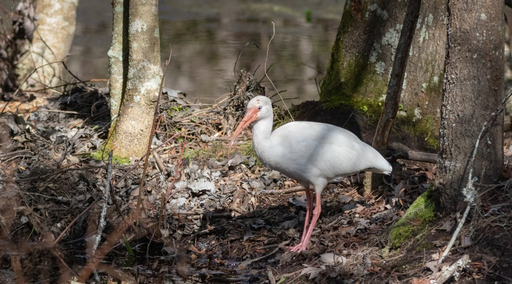 White Ibis, In A Cypress Swamp