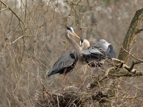Great Blue Heron In A Rookery
