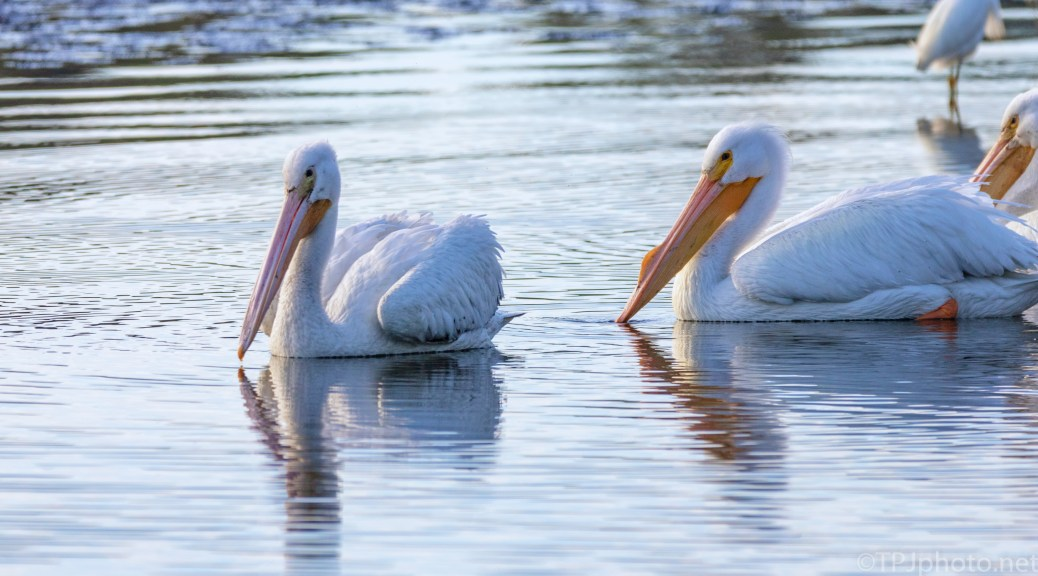 Pelican Pair, South Carolina Marsh