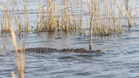 We Heard Him First, Alligator