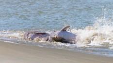 Dolphin Strand Feeding Project - 2