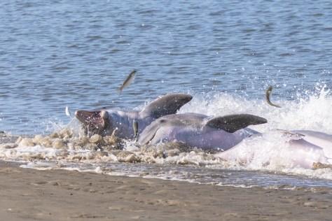 Dolphin Strand Feeding Project -1