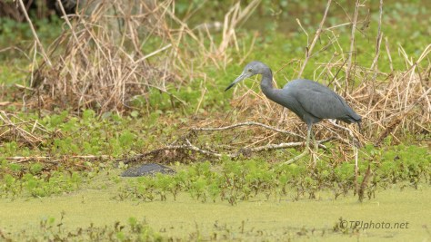 Caught Something, Little Blue Heron