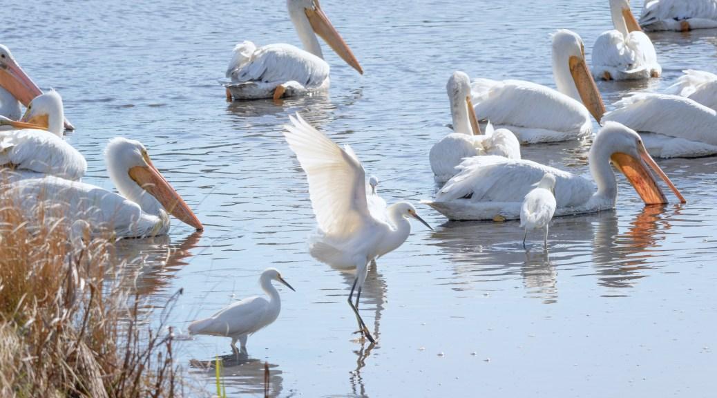 Brave Little Snowy Egret