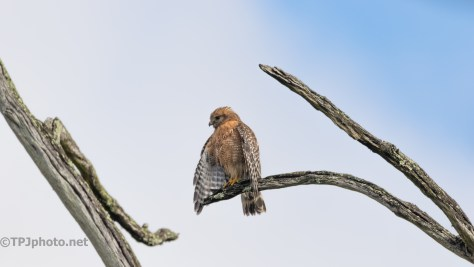 Wet, Red-shouldered Hawk