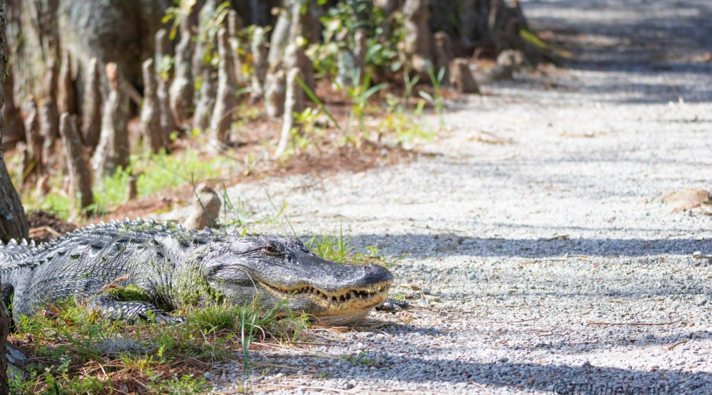 He Was There First, Alligator