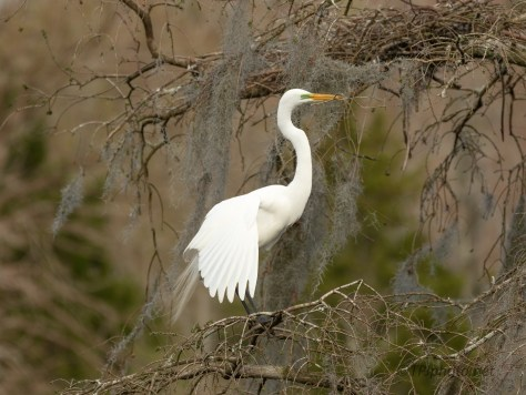 Sitting Pretty, Great Egret