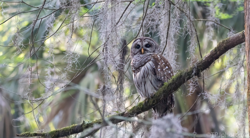 Barred Owl In The Moss