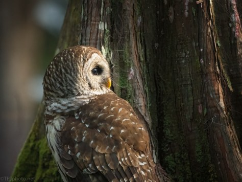 By The Bamboo, Owl