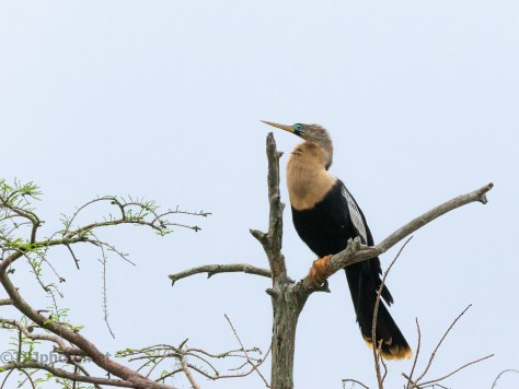 Female Anhinga Perched In A Cypress