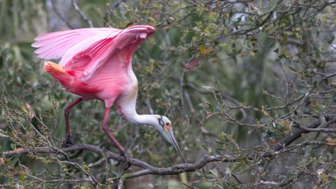 Full Breeding Colors, Roseate Spoonbill