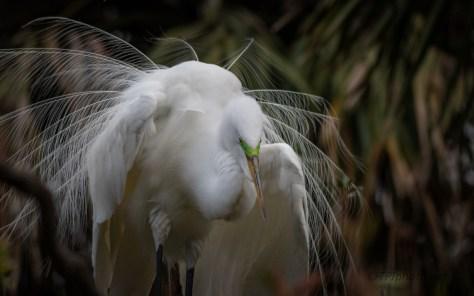 Dancing In A Tree, Great Egret