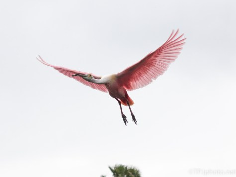 Pink In The Sky, Spoonbill