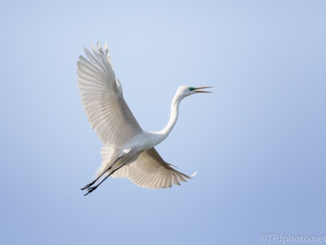 Quick Climb, Great Egret