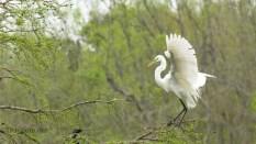 Great Egret Making An Entrance