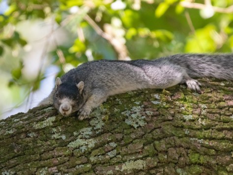 Fox Squirrel, Southern Variation