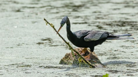 Anhinga Are Different
