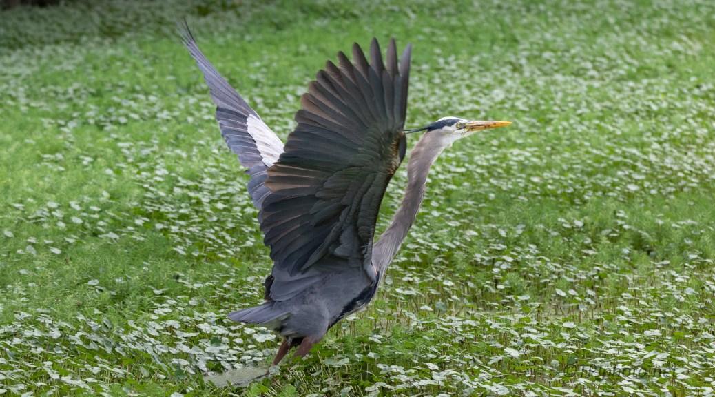 Leaving Me Behind, Great Blue Heron